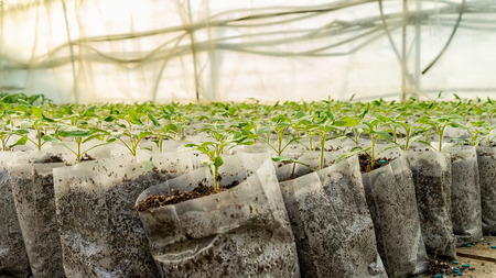 market gardener: small tomato  plants in a greenhouse for transplanting Stock Photo