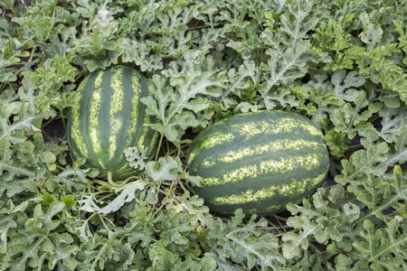 melon field: melon field with heaps of ripe watermelons in summer Stock Photo