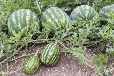 melon field with heaps of ripe watermelons in summer Stockfoto