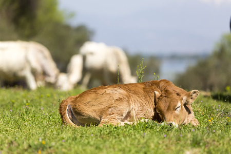 Small cute calf sleeping on the green meadow. Newborn baby cow.