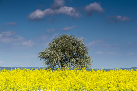 rappi: Beautiful tree in yellow rapeseed flower field and blue sky, in Greece
