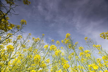 rapaseed: Yellow rapeseed flower field and blue sky, in Greece