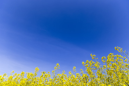 rappi: Yellow rapeseed flower field and blue sky, in Greece