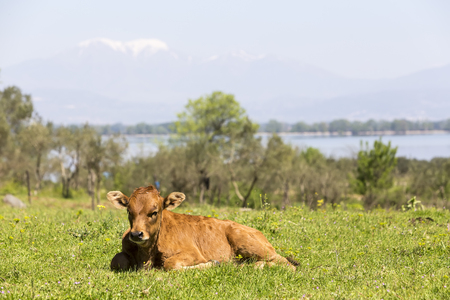 lieing: Small cute calf sitting on the green meadow. Newborn baby cow. Stock Photo