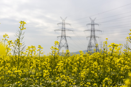 rapaseed: Yellow rapeseed flower field and blue sky with Electric post, in Greece Stock Photo
