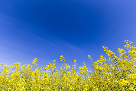 coleseed: Yellow rapeseed flower field and blue sky, in Greece