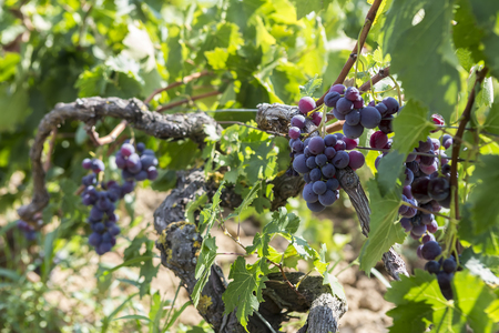 western slope: Bunches of wine grapes hanging on the wine