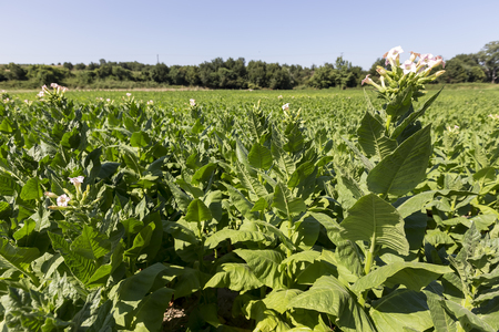 tobacco plants: Blooming tobacco plants with leaves, flowers and buds Stock Photo
