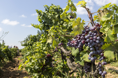 raisin vin: Bunches of wine grapes hanging on the wine