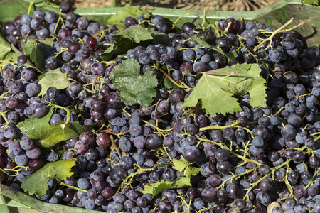 western slope: Basket of red grapes in the vineyards during the grape harvest. Stock Photo