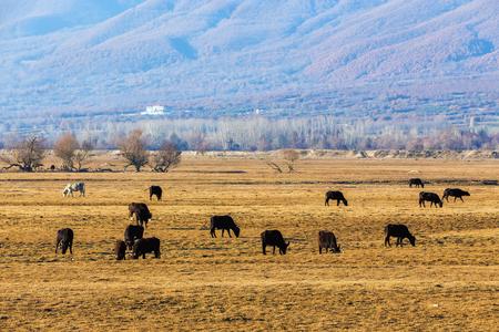 kerkini: Buffaloes eating near Kerkini Lake in Greece Stock Photo