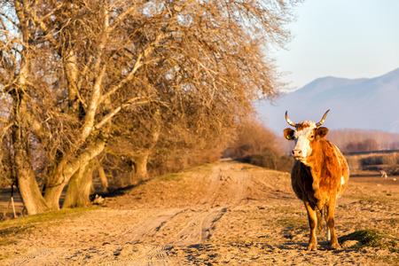 kerkini: Cow standing at the road near Kerkini Lake in Greece Stock Photo