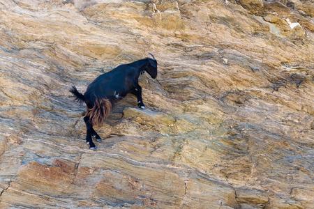 ios: Sheep with horns climbing on mountain over Agia Theodoti beach Ios, cyclades greece