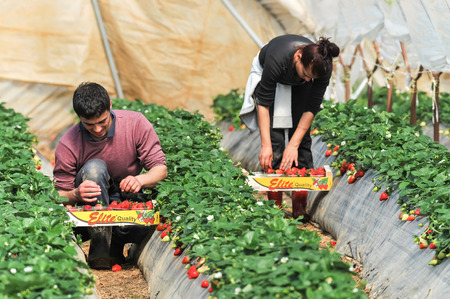 migrant: Manolada, Ilia, Greece - March 3, 2016: Immigrant seasonal farm workers (men and women, old and young) pick and package strawberries directly into boxes in the Manolada  of southern Greece.