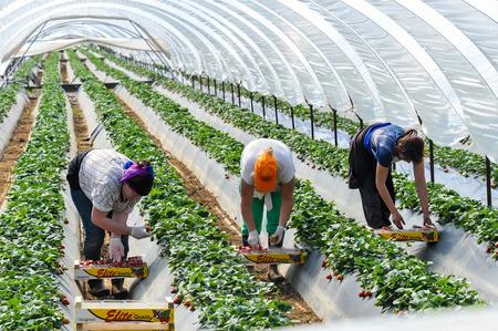Manolada, Ilia, Griechenland - 3. März 2016: Einwanderer saisonale Landarbeiter (Männer und Frauen, jung und alt) holen und Paket Erdbeeren direkt in Kisten in der Manolada im Süden Griechenlands. Editorial
