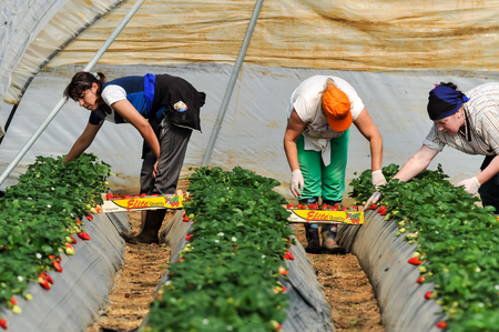 immigration: Manolada, Ilia, Greece - March 3, 2016: Immigrant seasonal farm workers (men and women, old and young) pick and package strawberries directly into boxes in the Manolada  of southern Greece.