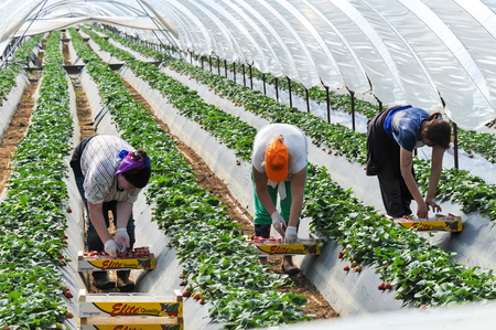Manolada, Ilia, Grecia - 3 marzo 2016: trabajadores agrícolas temporales inmigrantes (hombres y mujeres, viejos y jóvenes) recoger las fresas y los paquetes directamente en las cajas en la Manolada del sur de Grecia. Foto de archivo - 54842730