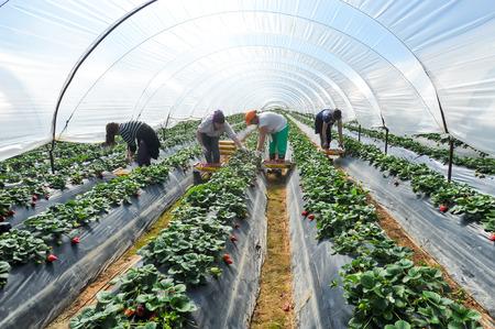 Manolada, Ilia, Grecia - 3 marzo 2016: trabajadores agrícolas temporales inmigrantes (hombres y mujeres, viejos y jóvenes) recoger las fresas y los paquetes directamente en las cajas en la Manolada del sur de Grecia.
