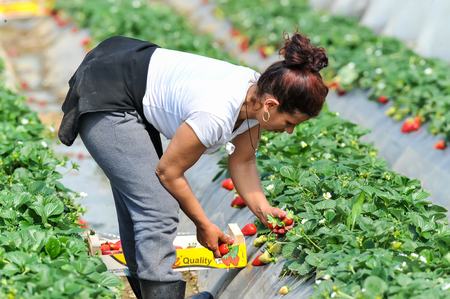Manolada、イリア、ギリシャ - 2016 年 3 月 3 日: 移民季節農業労働者 (男性と女性、老いも若き) を選ぶし、南ギリシャの Manolada のボックスに直接イチゴ 報道画像