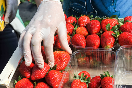 documented: Manolada, Ilia, Greece - March 3, 2016: Immigrant seasonal farm workers (men and women, old and young) pick and package strawberries directly into boxes in the Manolada  of southern Greece.