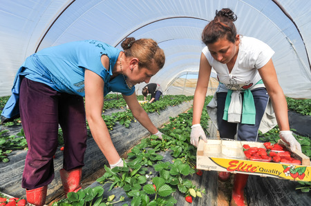 immigrant: Manolada, Ilia, Greece - March 3, 2016: Immigrant seasonal farm workers (men and women, old and young) pick and package strawberries directly into boxes in the Manolada  of southern Greece.