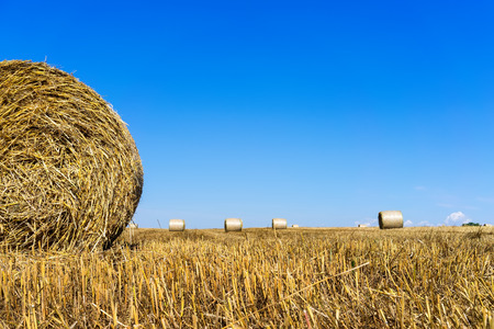 golden section: Agricultural field on which stacked straw haystacks after the wheat harvest