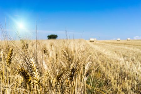 wheat field at harvesting Stock Photo