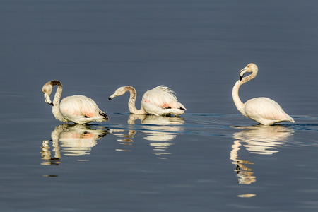 Pink flamingos walking through the water in the lagoon Kalochori in north Greece with soft focus