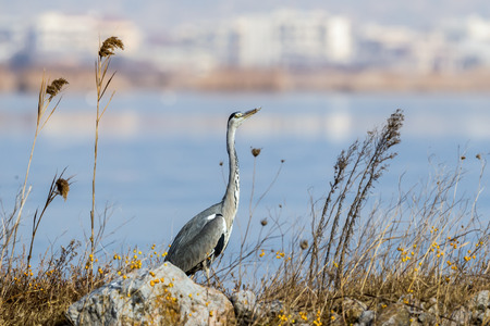 Gray heron (Ardea cinerea) is a wading bird in the heron family Ardeidae, near the reeds in wetlands in Kalohori in north Greece with soft focus