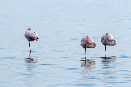 belles jambes: Pink flamingos walking through the water in the lagoon Kalochori in north Greece with soft focus