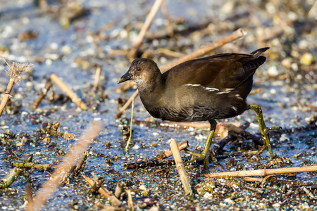 The common moorhen (Gallinula chloropus) also known as the swamp chicken,  in the lagoon Kalochori in northern Greece