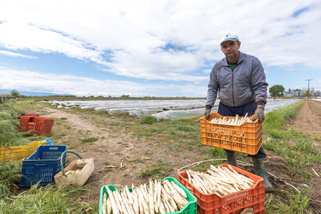 Xrisoupoli, Kavala, Greece - April 18, 2017: Immigrant seasonal farm workers (men and women) during harvesting white asparagus in the Xrisoupoli of Northern Greece.