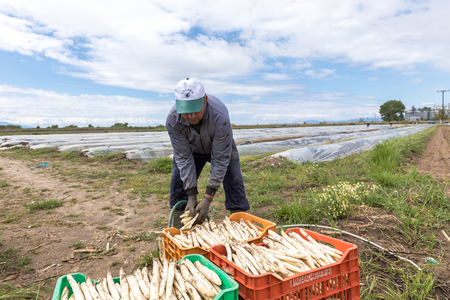 documented: Xrisoupoli, Kavala, Greece - April 18, 2017: Immigrant seasonal farm workers (men and women) during harvesting white asparagus in the Xrisoupoli of Northern Greece.