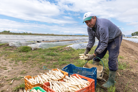 covered fields: Xrisoupoli, Kavala, Greece - April 18, 2017: Immigrant seasonal farm workers (men and women) during harvesting white asparagus in the Xrisoupoli of Northern Greece.