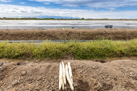 covered fields: harvest white asparagus from the field Stock Photo