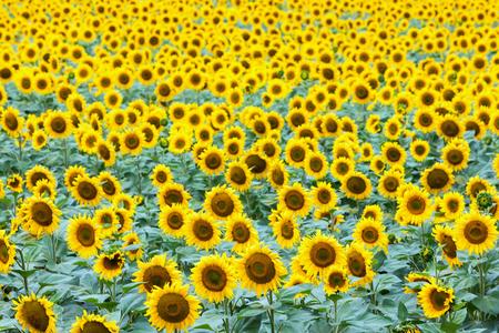overcast: Beautiful sunflower field in summer (sunflowers)