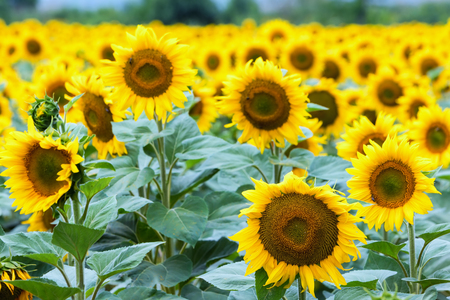 Beautiful sunflower field in summer (sunflowers)