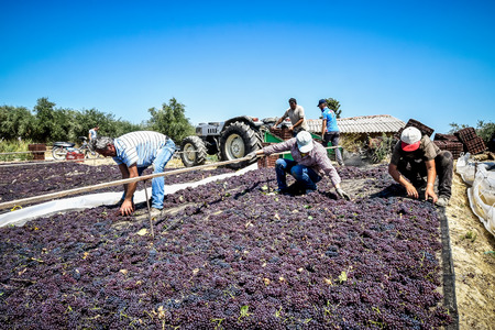 commercially: Mouzaki, Ilia, Greece - August 18, 2017: seasonal farm workers (men and women, old and young) pick and dry raisins in Greece. Raisins are produced commercially by drying harvested grape berries Editorial