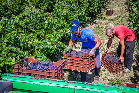 Mouzaki, Ilia, Greece - August 18, 2017: seasonal farm workers (men and women, old and young) pick and dry raisins in Greece. Raisins are produced commercially by drying harvested grape berries Фото со стока - 84842192