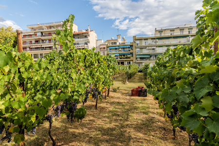 Large bunche of red wine grapes hang from a vine. Ripe grapas. urban vineyard. Thessaloniki, Greece