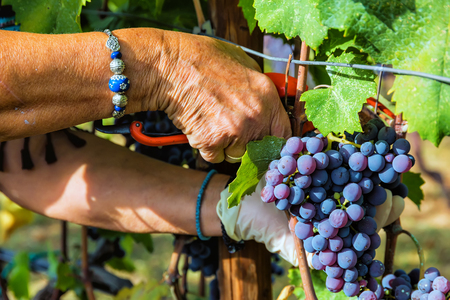 Close up of grapes during grape harvesting