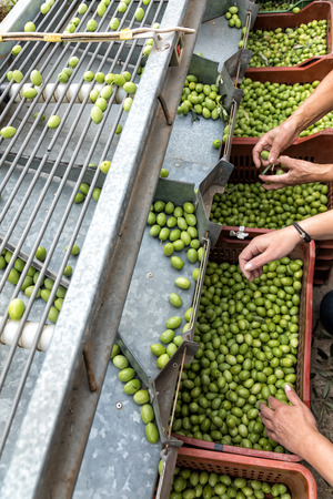 Hand sorting out collected green olives in Chalkidiki,  Greece