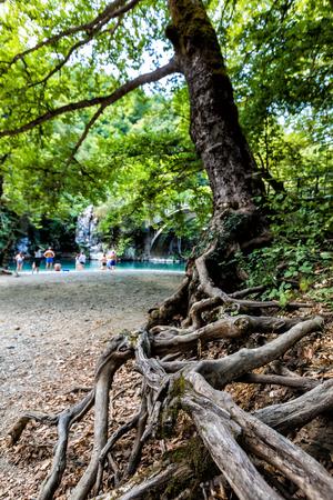 centenarian: Big root tree in green park, Voidomatis River in Zagori, Epirus, Greece Stock Photo