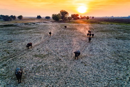 water buffalo grazing at sunset  next to the river Strymon in Northern Greece. Aerial shot