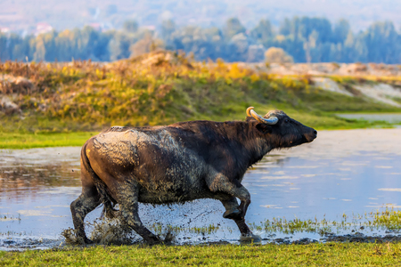 buffaloes pass through the water in an autumn day next to the river Strymon in Northern Greece.