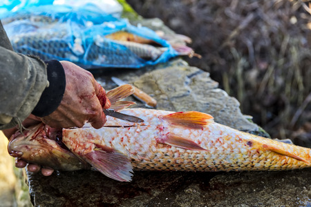 Fisherman to cleans a freshly fish (Cyprinus carpio) with a knife from the lake Kerkini, Greece. selective focus