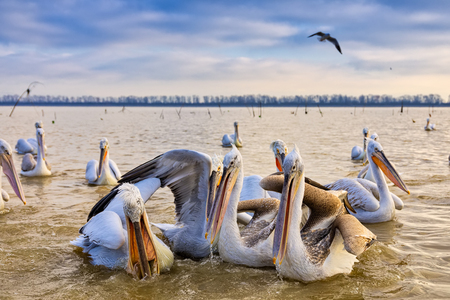 pelican Dalmatian opens his mouth and catches the fish that a fisherman threw at the lake Kerkini, Greece. The fishermen of the area feed the pelicans to help them survive the winter