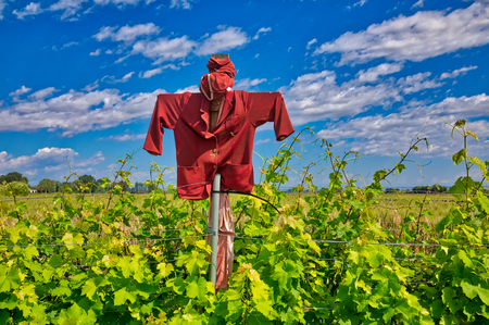 Scarecrow that protects a vineyard field