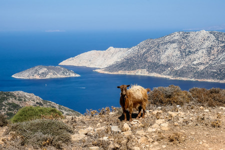 goats who climb the rocks in Amorgos island, cyclades greece Фото со стока