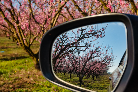 Reflection of orchard of peach trees in bloomed in a car mirror